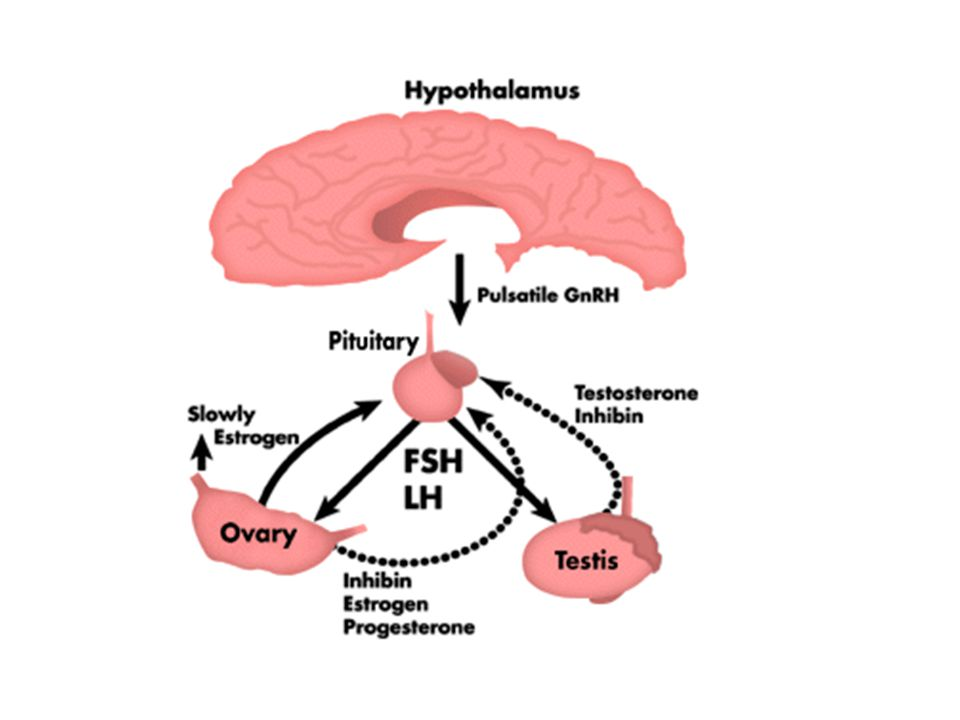Female Reproductive Endocrinology Chapter 18 Anatomy Vulva