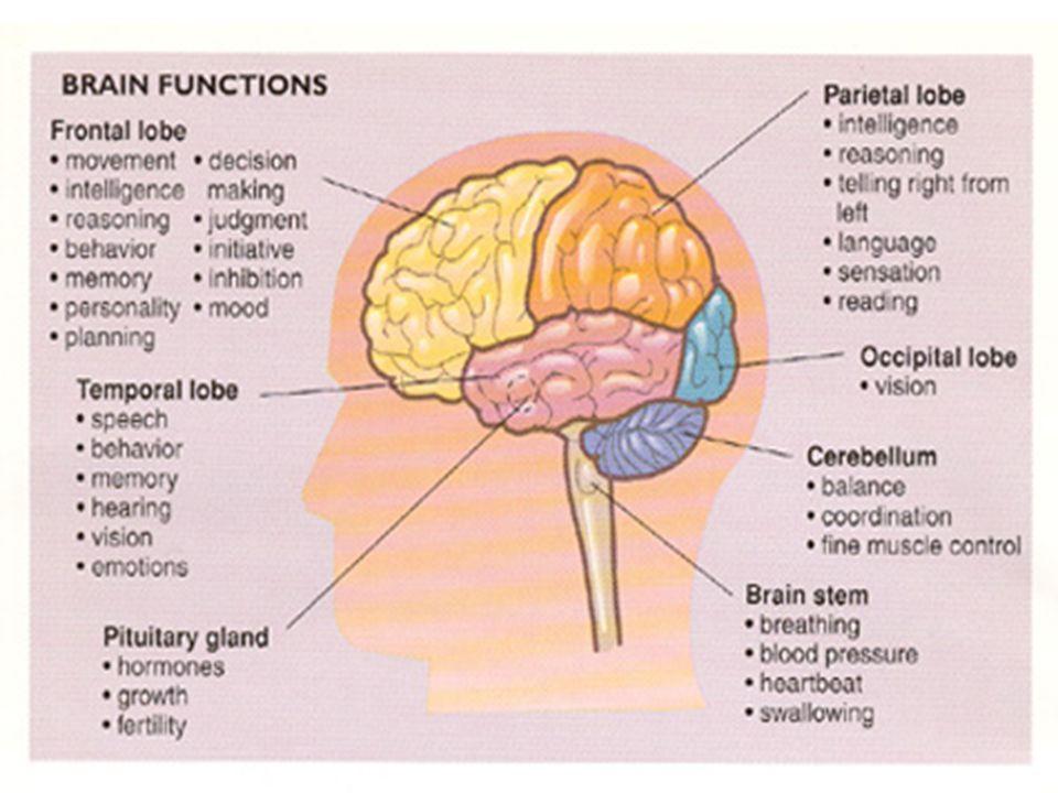 Luxury The Human Brain Diagram And Functions Image - Human Anatomy ...