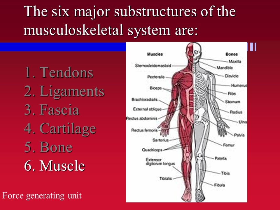 Chapter 2 The Structure and Function of the Musculoskeletal System ...
