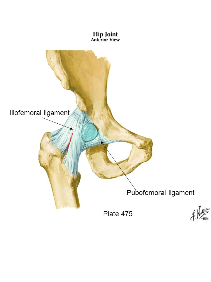 Plate 475 Pubofemoral ligament Iliofemoral ligament. - ppt download