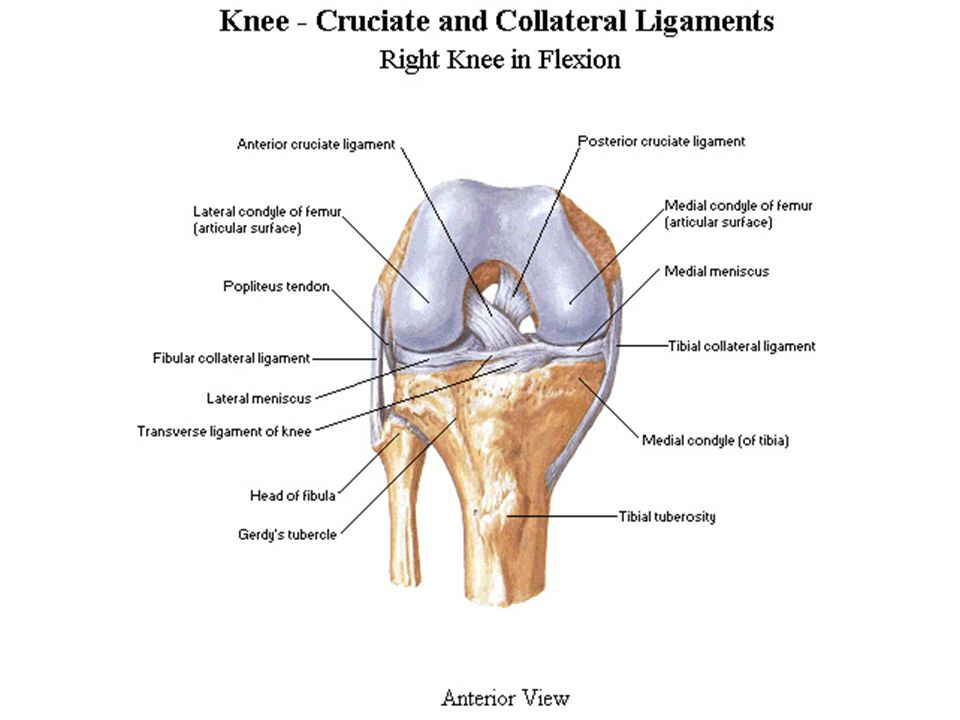 KNEE INJURIES Review Gross and Functional Anatomy. - ppt download