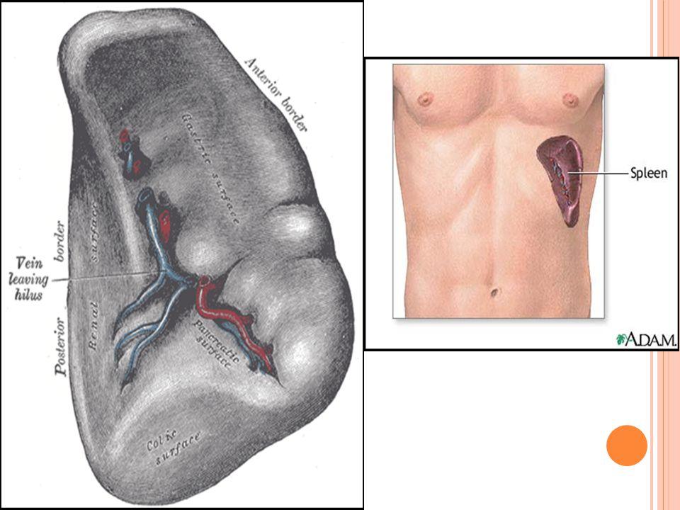 Spleen. - ppt video online download