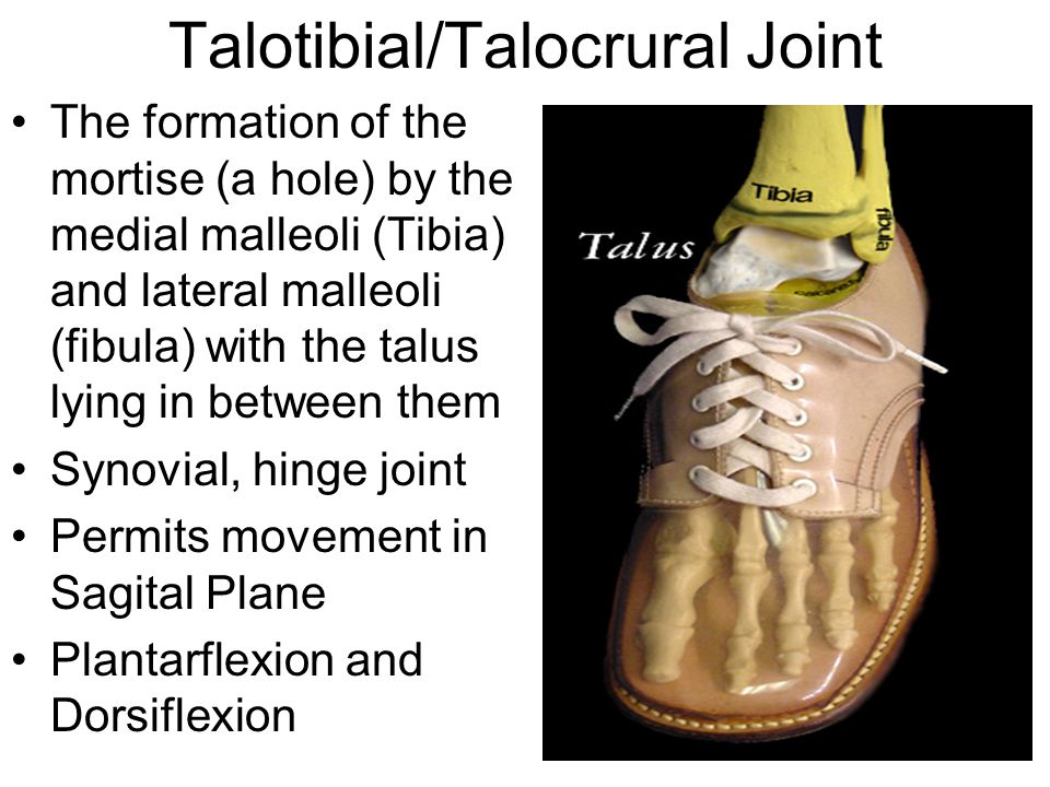 Talotibial/Talocrural Joint The formation of the mortise (a hole) by the medial malleoli (Tibia) and lateral malleoli (fibula) with the talus lying in between them Synovial, hinge joint Permits movement in Sagital Plane Plantarflexion and Dorsiflexion