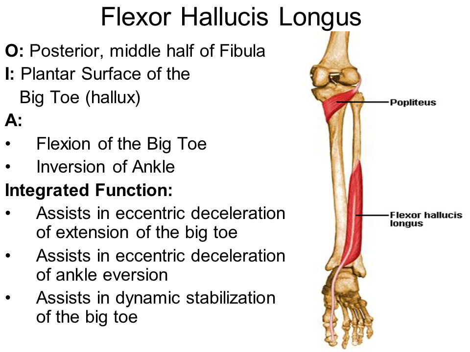 Flexor Hallucis Longus O: Posterior, middle half of Fibula I: Plantar Surface of the Big Toe (hallux) A: Flexion of the Big Toe Inversion of Ankle Integrated Function: Assists in eccentric deceleration of extension of the big toe Assists in eccentric deceleration of ankle eversion Assists in dynamic stabilization of the big toe