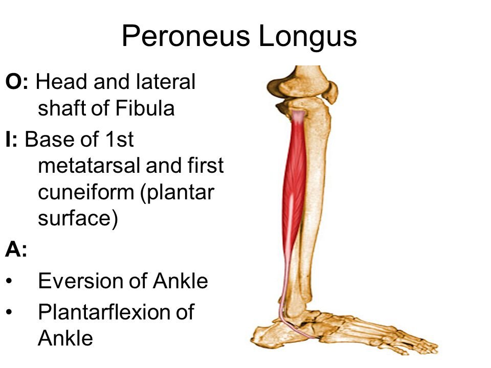 Peroneus Longus O: Head and lateral shaft of Fibula I: Base of 1st metatarsal and first cuneiform (plantar surface) A: Eversion of Ankle Plantarflexion of Ankle