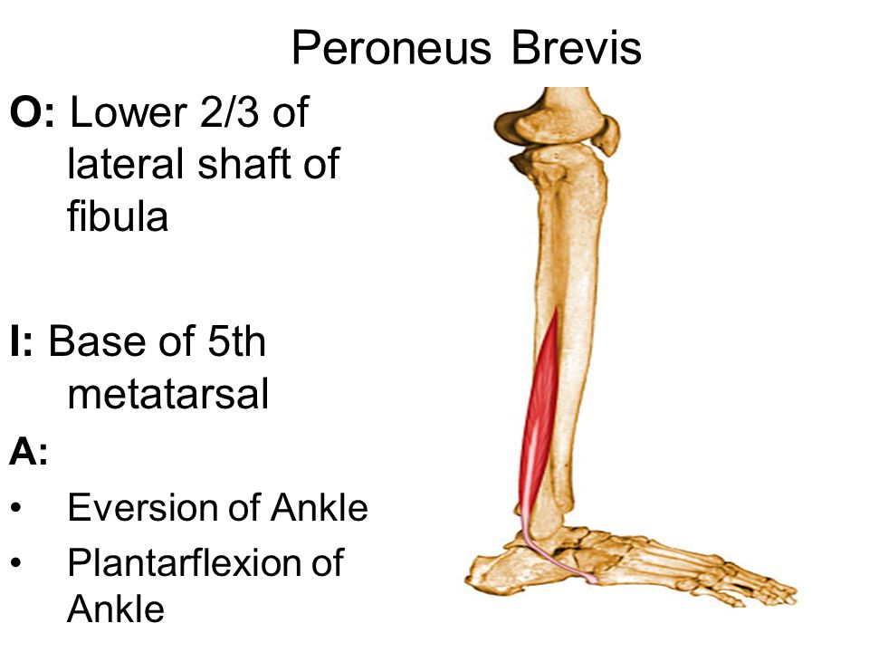 Peroneus Brevis O: Lower 2/3 of lateral shaft of fibula I: Base of 5th metatarsal A: Eversion of Ankle Plantarflexion of Ankle