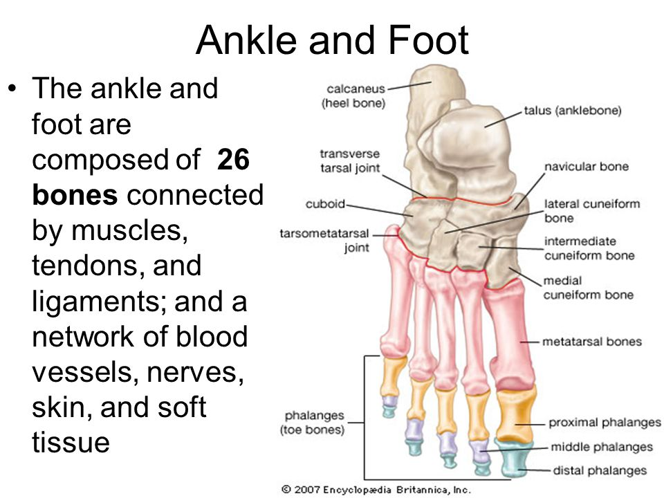 Anatomy of Ankle and Foot. Overview Bones of Ankle and Foot ...
