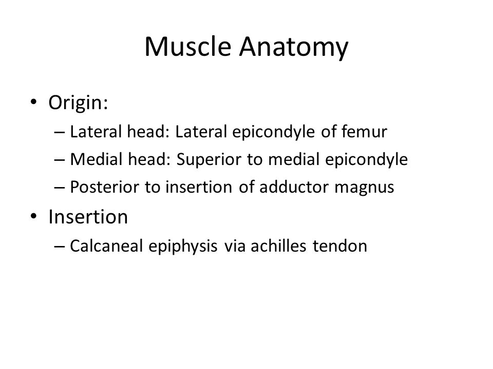 Muscle Anatomy Origin: – Lateral head: Lateral epicondyle of femur – Medial head: Superior to medial epicondyle – Posterior to insertion of adductor magnus Insertion – Calcaneal epiphysis via achilles tendon