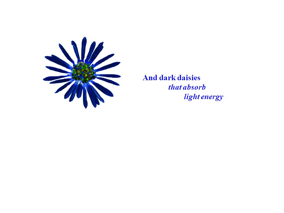 And dark daisies that absorb light energy