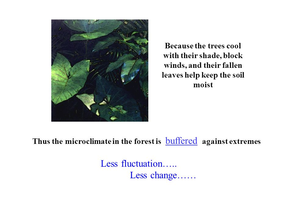 Because the trees cool with their shade, block winds, and their fallen leaves help keep the soil moist Thus the microclimate in the forest is buffered against extremes Less fluctuation…..