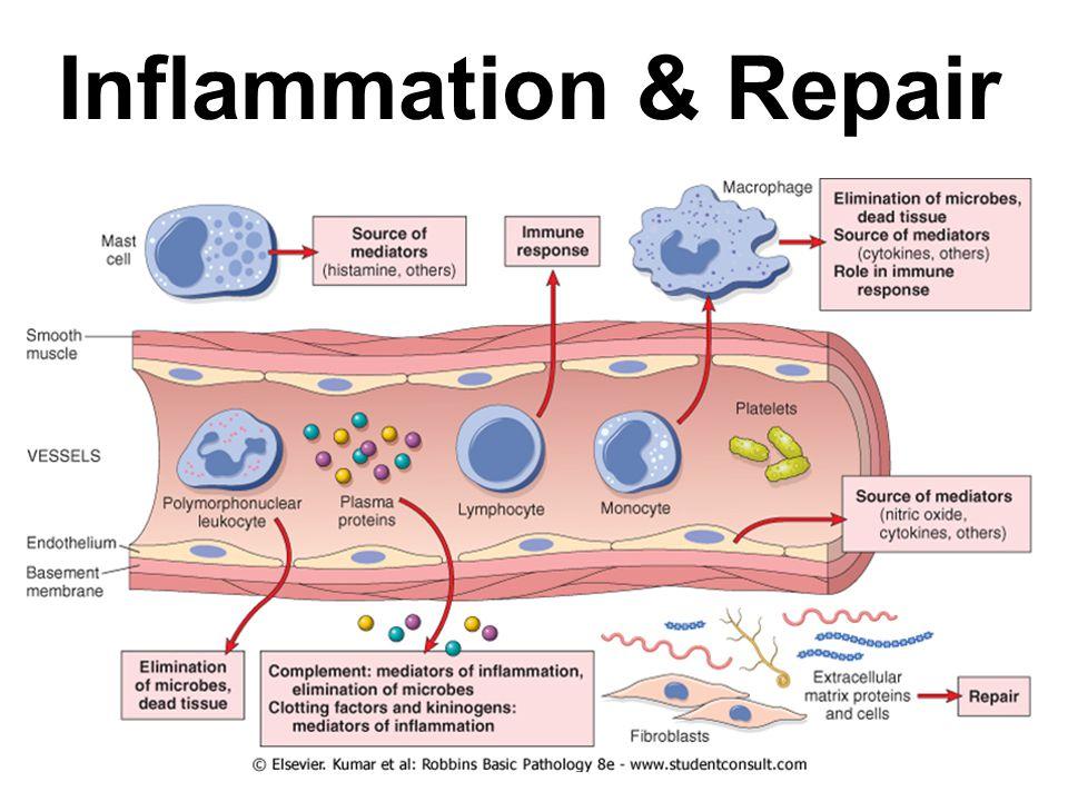 Inflammation & Repair  Inflammation Acute Inflammation