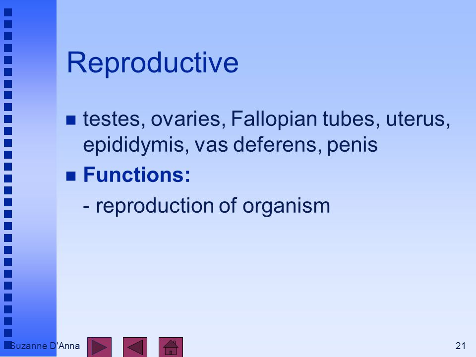 Suzanne D Anna21 Reproductive n testes, ovaries, Fallopian tubes, uterus, epididymis, vas deferens, penis n Functions: - reproduction of organism
