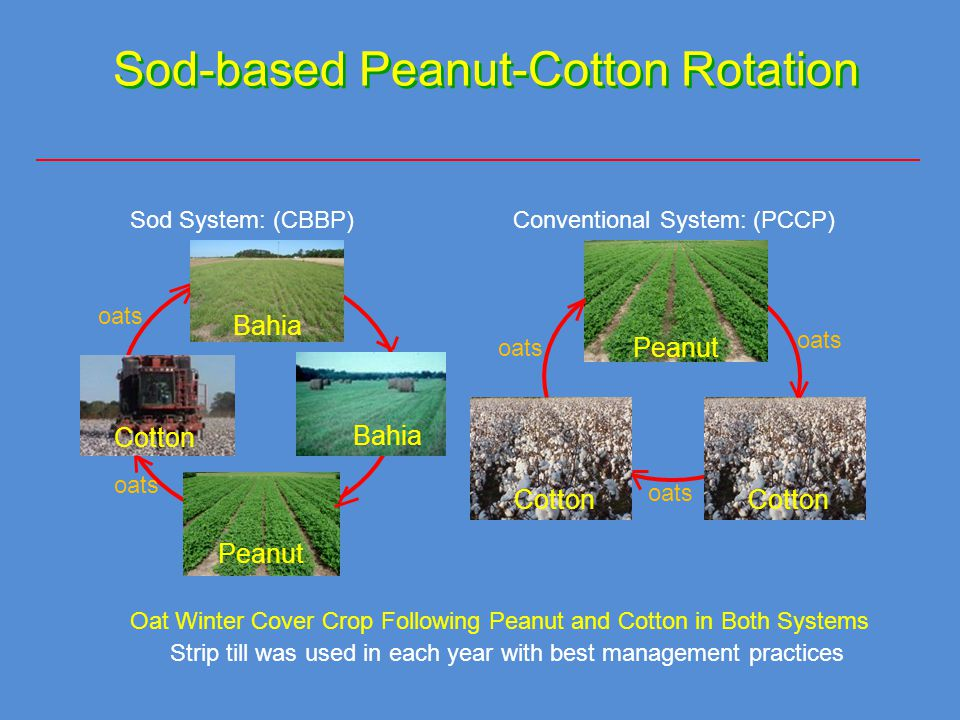 Sod-based Peanut-Cotton Rotation Sod System: (CBBP)Conventional System: (PCCP) Oat Winter Cover Crop Following Peanut and Cotton in Both Systems oats Strip till was used in each year with best management practices Bahia Cotton oats Peanut