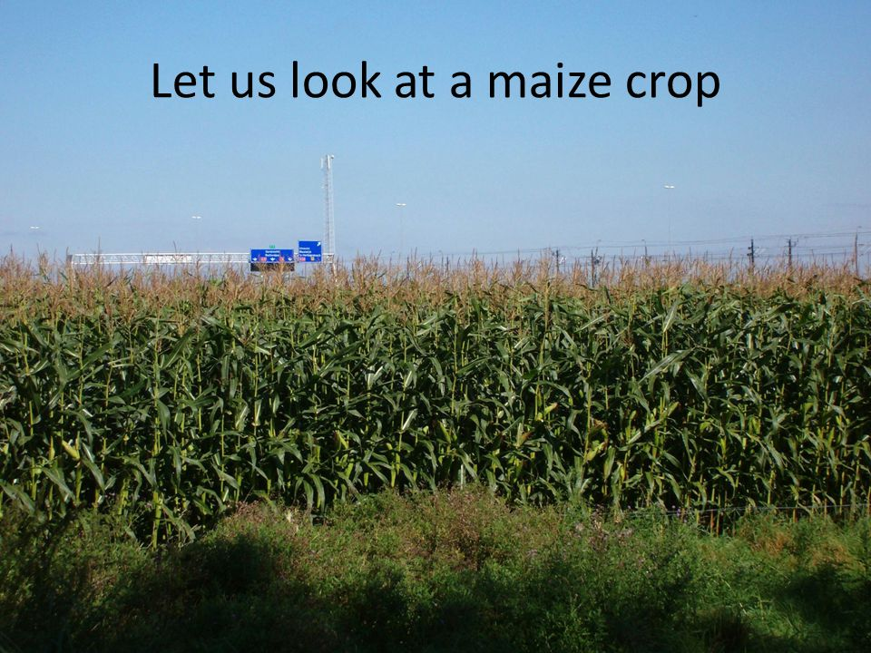 Let us look at a maize crop