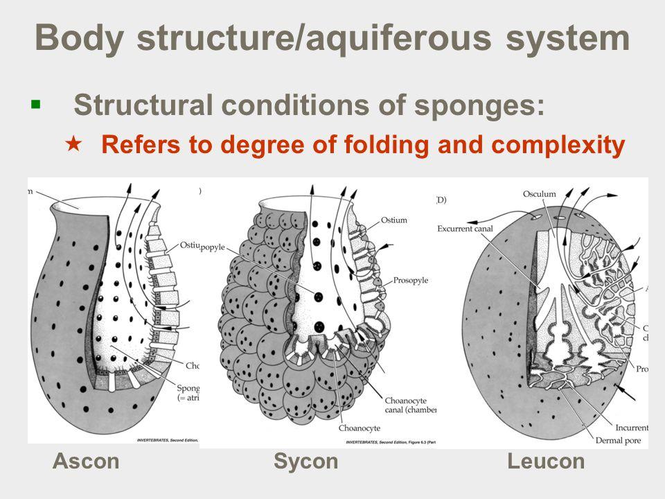 aquiferous system