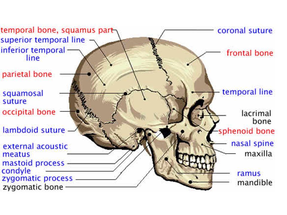 2 Divisions Cranium Face - ppt video online download