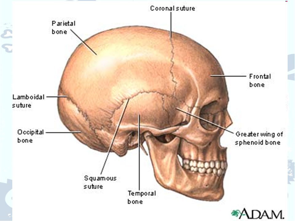 Facial Sutures Labeled Diagram - Search For Wiring Diagrams •