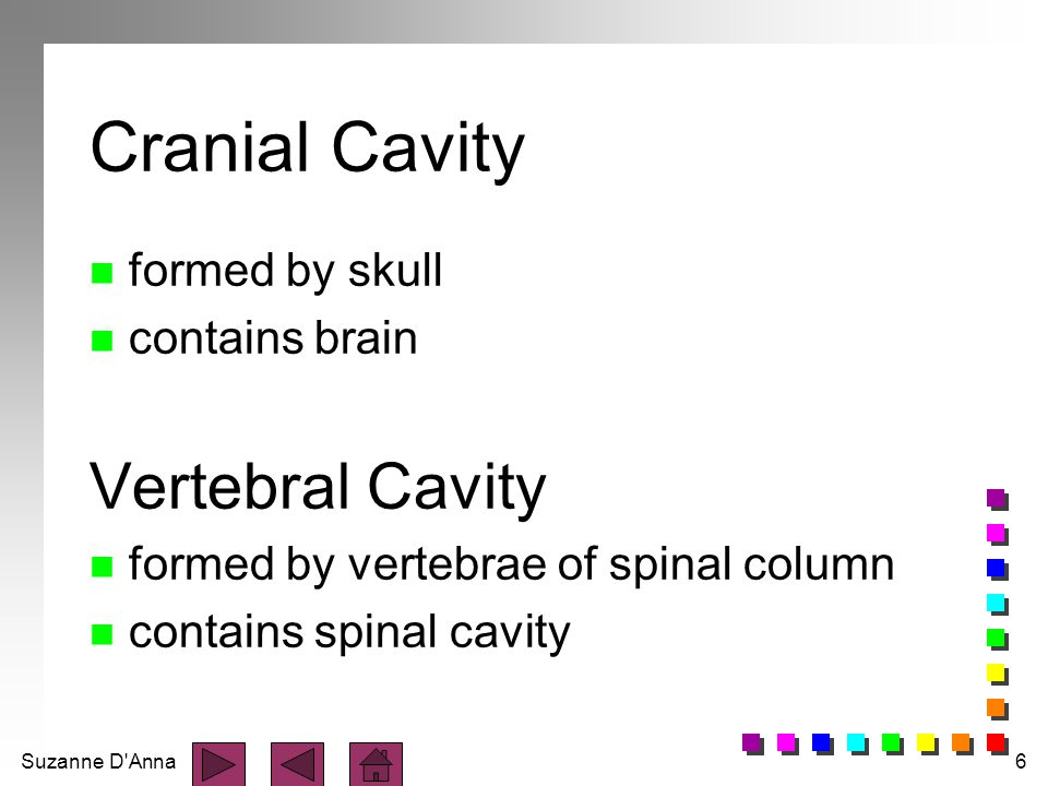 Suzanne D Anna6 Cranial Cavity n formed by skull n contains brain Vertebral Cavity n formed by vertebrae of spinal column n contains spinal cavity