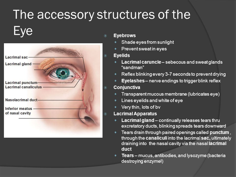 The accessory structures of the Eye  Eyebrows Shade eyes from sunlight Prevent sweat in eyes  Eyelids Lacrimal caruncle – sebecous and sweat glands sandman Reflex blinking every 3-7 seconds to prevent drying Eyelashes – nerve endings to trigger blink reflex  Conjunctiva Transparent mucous membrane (lubricates eye) Lines eyelids and white of eye Very thin, lots of bv  Lacrimal Apparatus Lacrimal gland – continually releases tears thru excretatory ducts, blinking spreads tears downward Tears drain through paired openings called punctum, through the canaliculi into the lacrimal sac, ultimately draining into the nasal cavity via the nasal lacrimal duct Tears – mucus, antibodies, and lysozyme (bacteria destroying enzyme!)