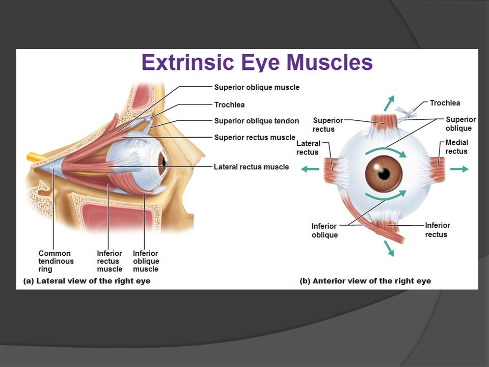 accessory structures of the eye