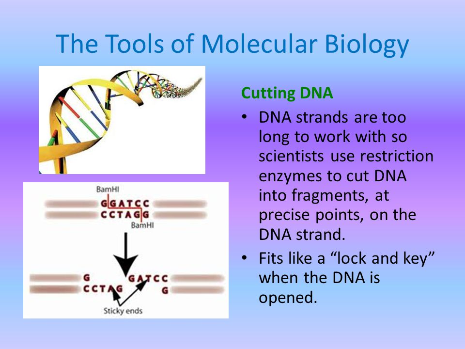The Tools of Molecular Biology Cutting DNA DNA strands are too long to work with so scientists use restriction enzymes to cut DNA into fragments, at precise points, on the DNA strand.