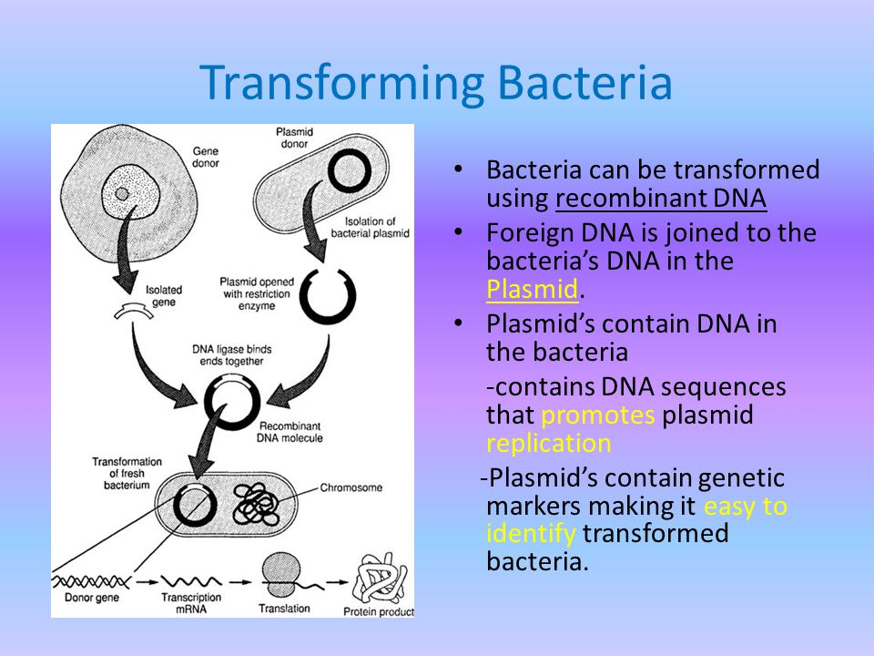Transforming Bacteria Bacteria can be transformed using recombinant DNA Foreign DNA is joined to the bacteria's DNA in the Plasmid.