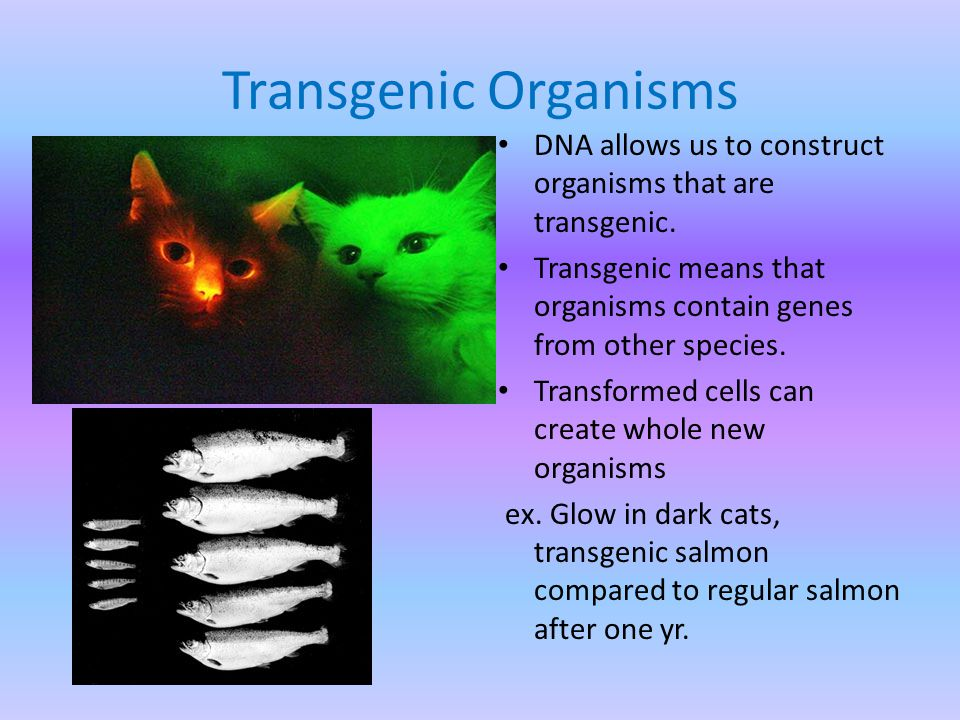 Transgenic Organisms DNA allows us to construct organisms that are transgenic.