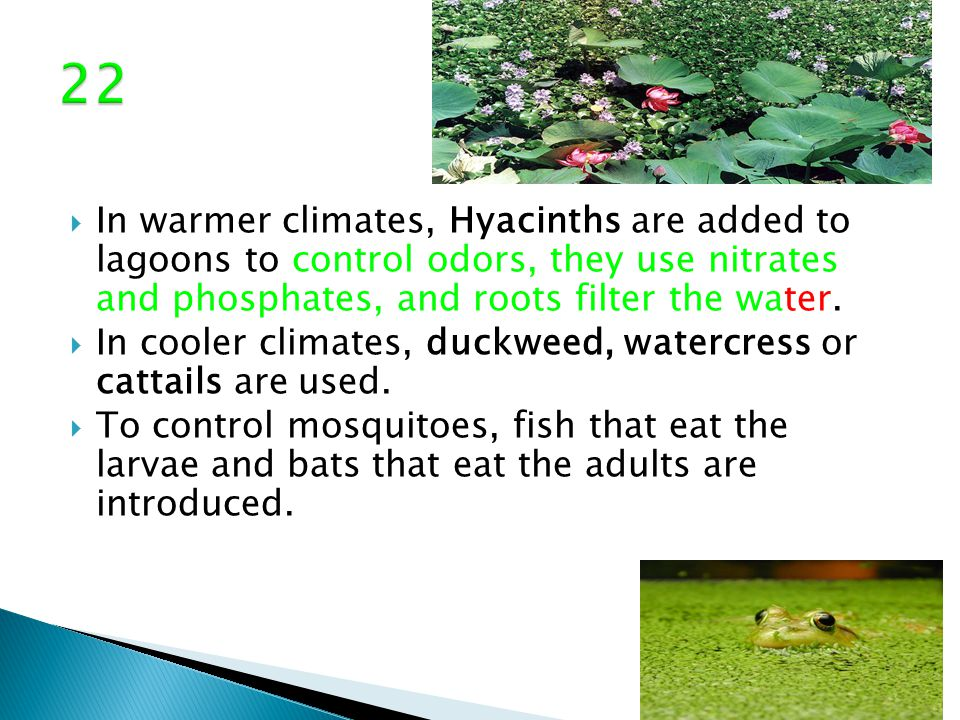 In warmer climates, Hyacinths are added to lagoons to control odors, they use nitrates and phosphates, and roots filter the water.