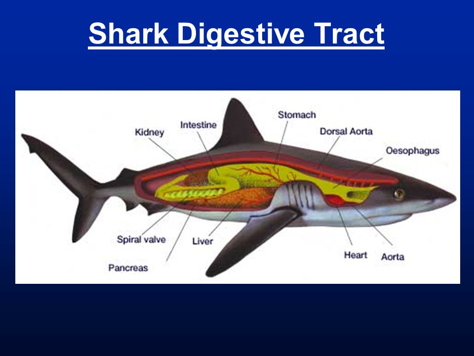 Great white shark digestive system diagram wiring diagram for human coelomic divisions coelom body cavity within lateral rh slideplayer com great white shark internal organs megalodon digestive system ccuart Images