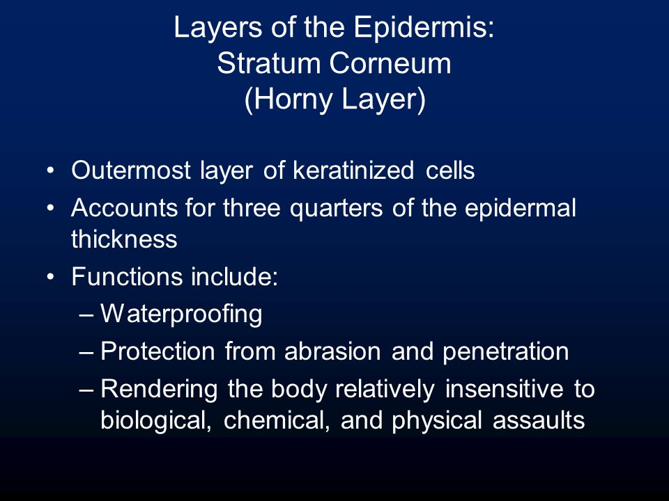 Outermost layer of keratinized cells Accounts for three quarters of the epidermal thickness Functions include: –Waterproofing –Protection from abrasion and penetration –Rendering the body relatively insensitive to biological, chemical, and physical assaults Layers of the Epidermis: Stratum Corneum (Horny Layer)