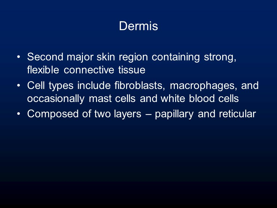 Dermis Second major skin region containing strong, flexible connective tissue Cell types include fibroblasts, macrophages, and occasionally mast cells and white blood cells Composed of two layers – papillary and reticular