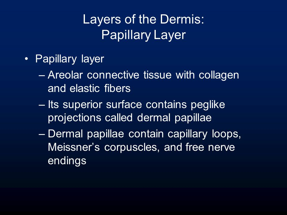 Layers of the Dermis: Papillary Layer Papillary layer –Areolar connective tissue with collagen and elastic fibers –Its superior surface contains peglike projections called dermal papillae –Dermal papillae contain capillary loops, Meissner's corpuscles, and free nerve endings