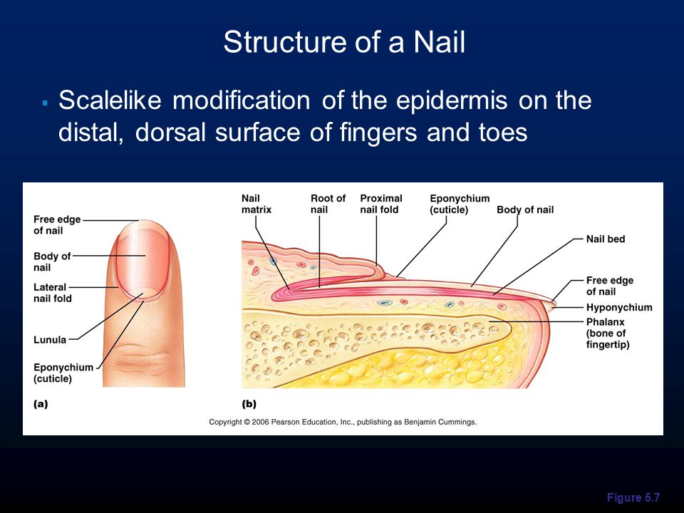 Figure 5.7 Structure of a Nail  Scalelike modification of the epidermis on the distal, dorsal surface of fingers and toes