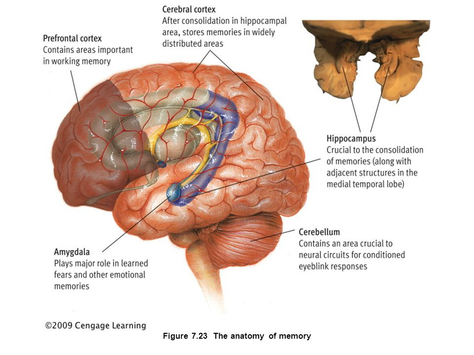 Chapter 7 Human Memory Human Memory Basic Questions How Does