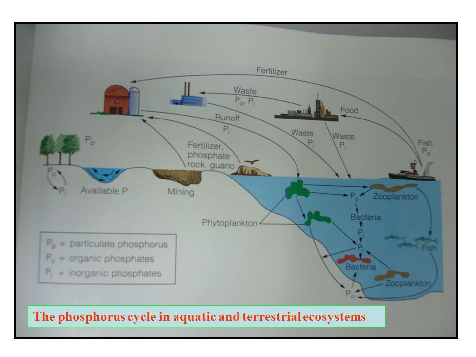 Phosphorus Cycle Phosphorus Is Essential To The Energetics Genetics