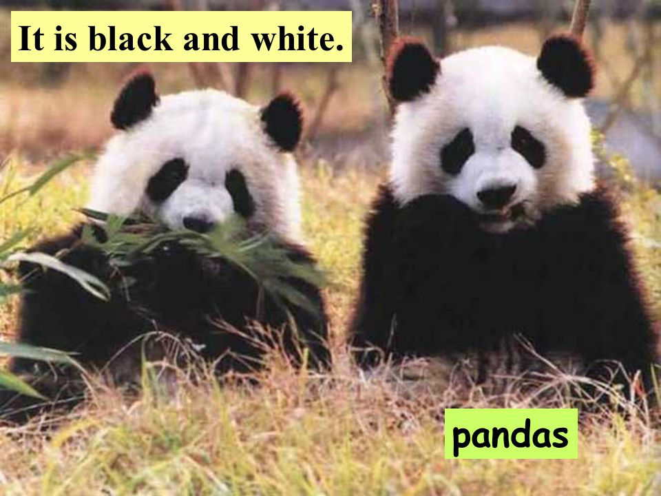 ab091d02b1c5 Free talk pandas It is black and white. 卧龙熊猫自然保护区Wolong ...