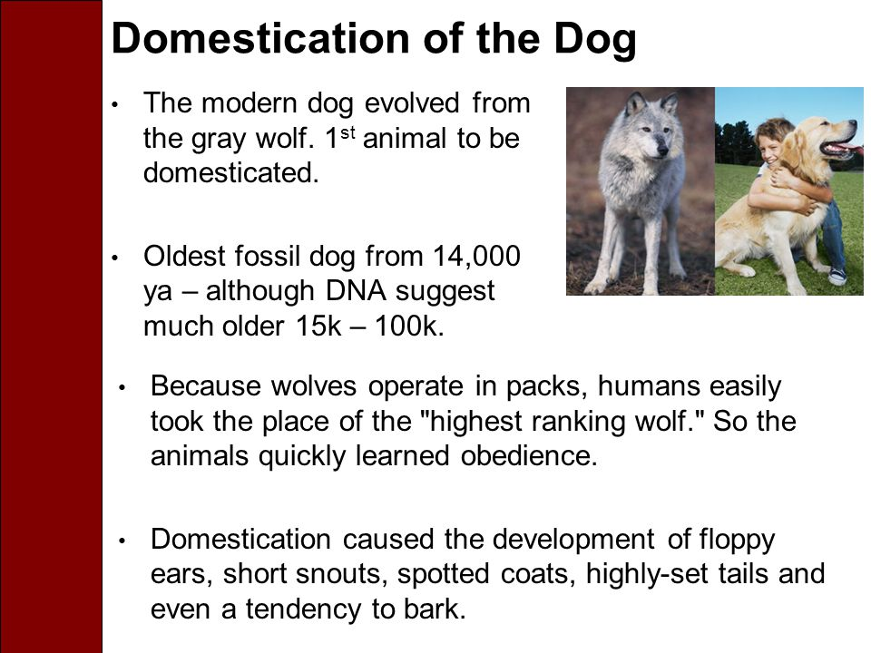 Domestication of the Dog The modern dog evolved from the gray wolf.