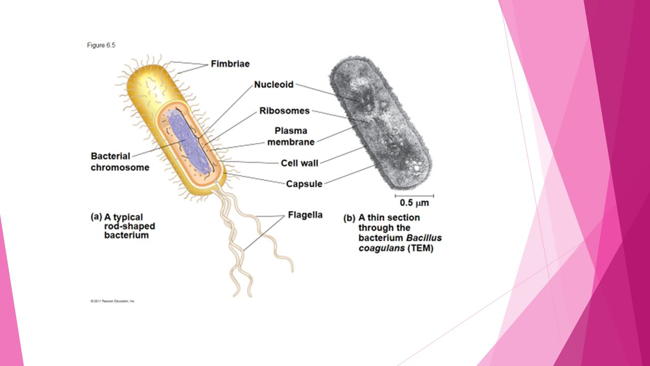 22 Prokaryotic Cells 23 Eukaryotic Ppt Video Online Download You Have A Prokaryoticcell Bacteria And Two 4 Cell Wall Made Of Murein Not Cellulose Which Is Glycoprotein Or Peptidoglycan Ie Protein Carbohydrate Complex There Are Kinds