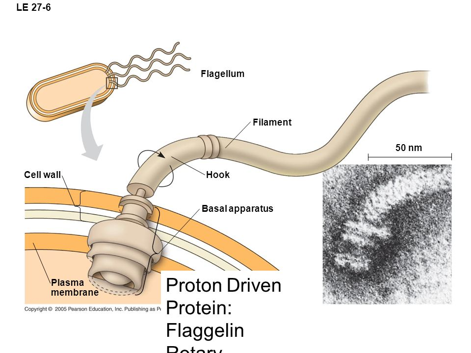 LE 27-6 Flagellum Filament Cell wall Hook Basal apparatus Plasma membrane 50 nm Proton Driven Protein: Flaggelin Rotary