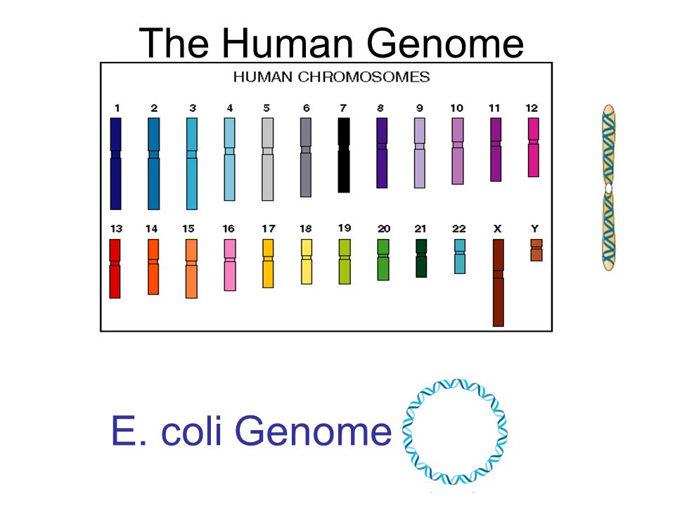 The Human Genome E. coli Genome