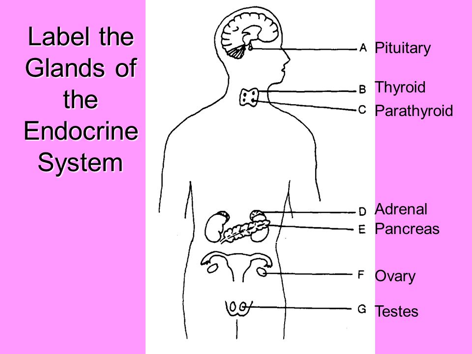 Label Each Part Of The Endocrine System Study Best Photo Gallery For