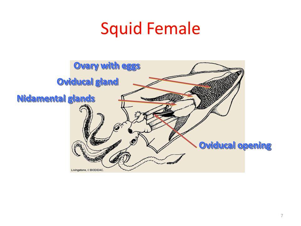Squid Diagram Spermatophoric Sac Wiring Diagram Database