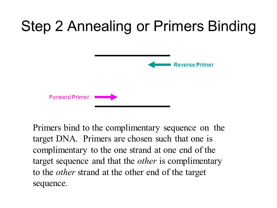 Step 2 Annealing or Primers Binding Primers bind to the complimentary sequence on the target DNA.