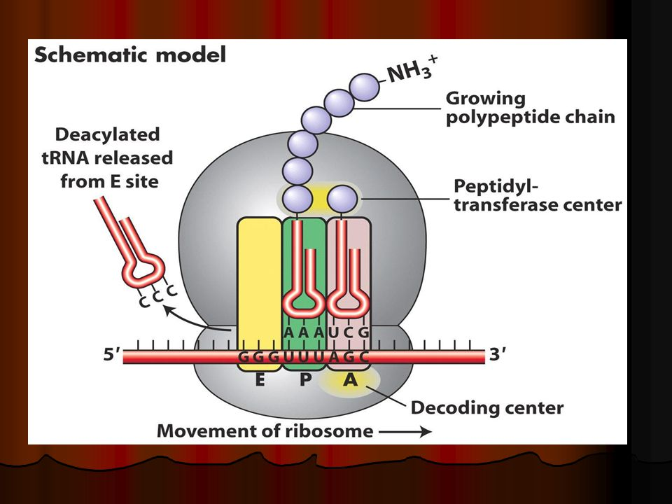 Protein Synthesis Iprotein Production A Background Info 2