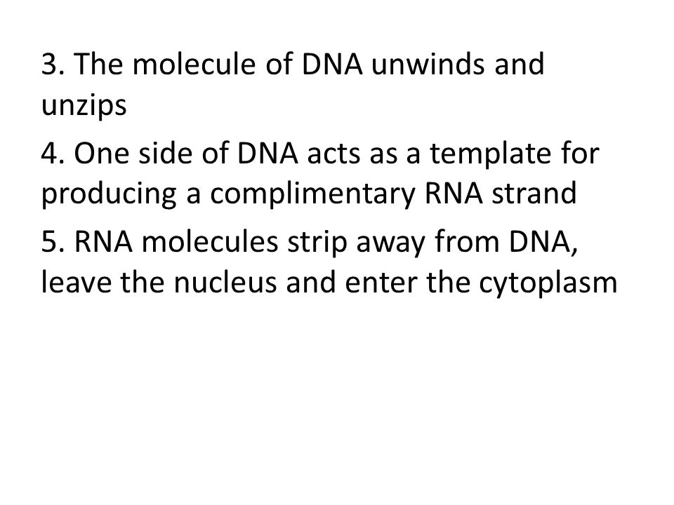 3. The molecule of DNA unwinds and unzips 4.