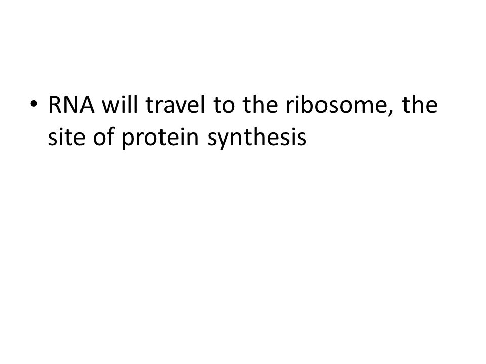 RNA will travel to the ribosome, the site of protein synthesis