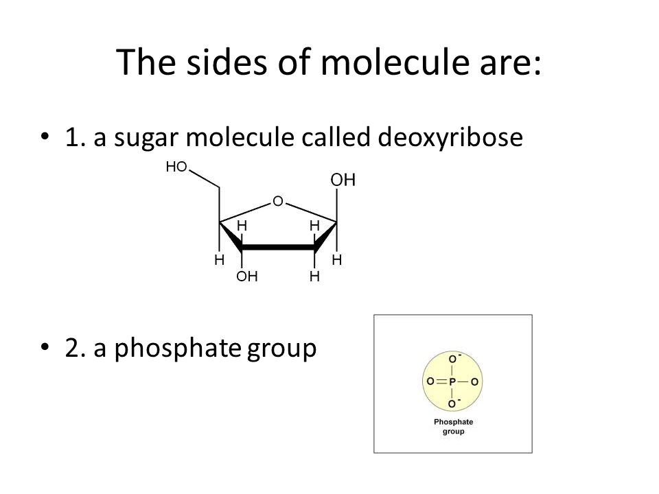 The sides of molecule are: 1. a sugar molecule called deoxyribose 2. a phosphate group