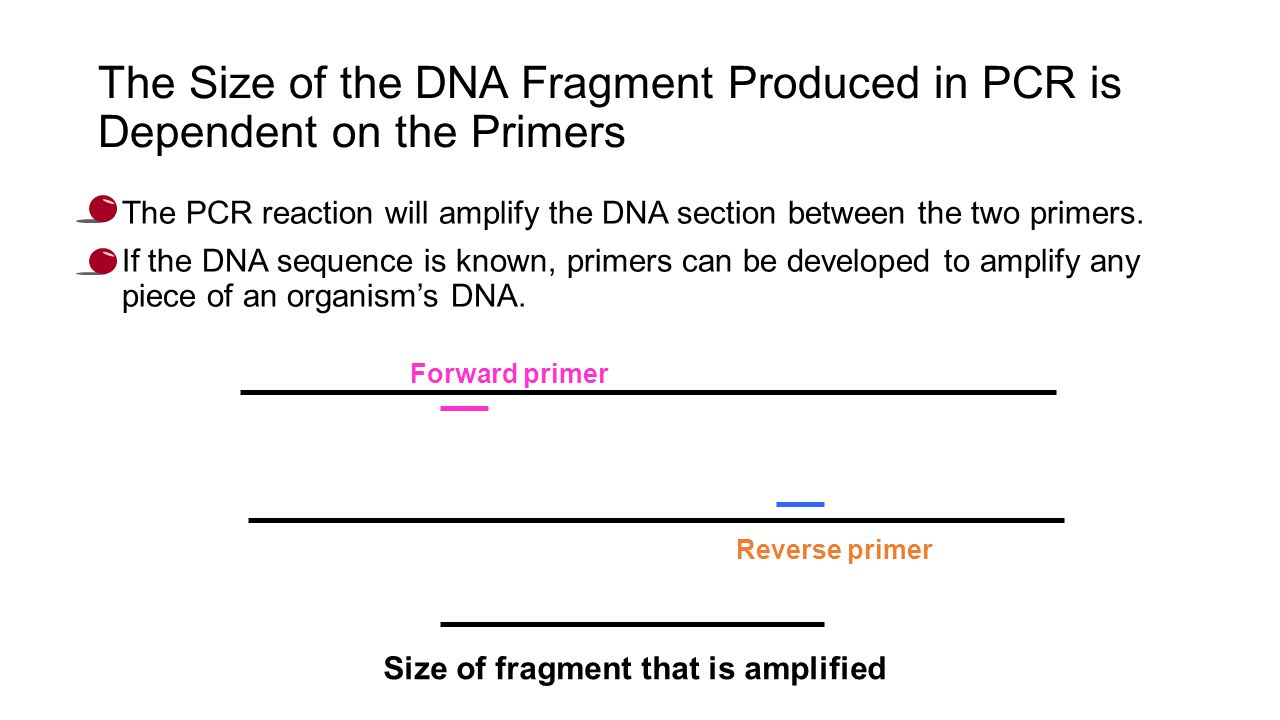 The Size of the DNA Fragment Produced in PCR is Dependent on the Primers The PCR reaction will amplify the DNA section between the two primers.