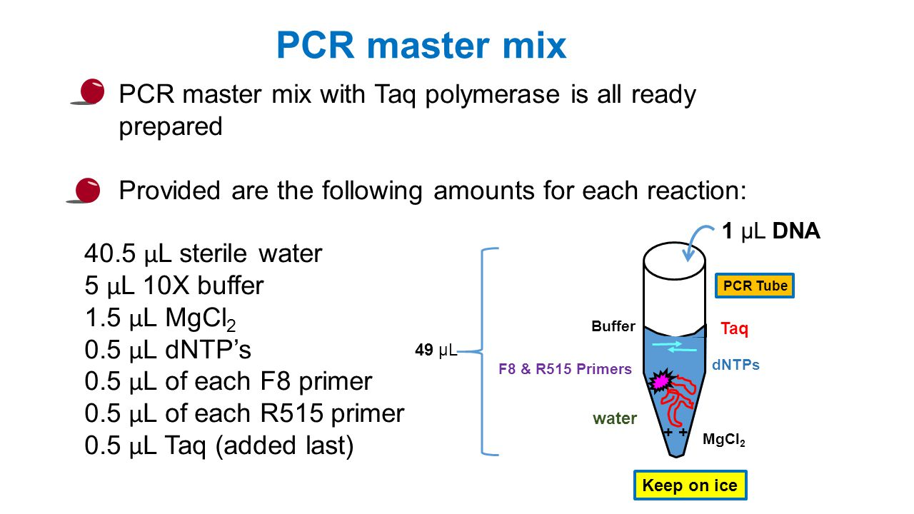 PCR master mix with Taq polymerase is all ready prepared Provided are the following amounts for each reaction: 40.5 μ L sterile water 5 μ L 10X buffer 1.5 μ L MgCl μ L dNTP's 0.5 μ L of each F8 primer 0.5 μ L of each R515 primer 0.5 μ L Taq (added last) PCR master mix dNTPs F8 & R515 Primers Buffer + water MgCl 2 Taq Keep on ice 1 μL DNA 49 μL PCR Tube