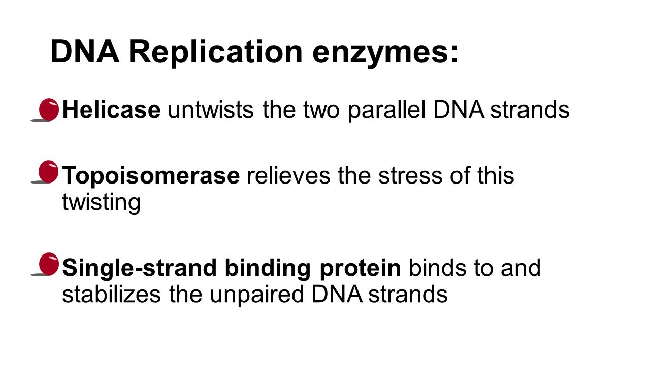 DNA Replication enzymes: Helicase untwists the two parallel DNA strands Topoisomerase relieves the stress of this twisting Single-strand binding protein binds to and stabilizes the unpaired DNA strands